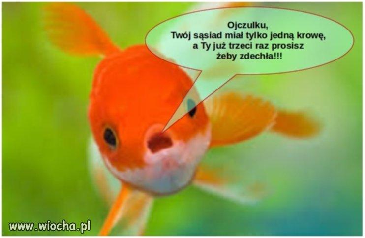 Złota rybka do Polaka