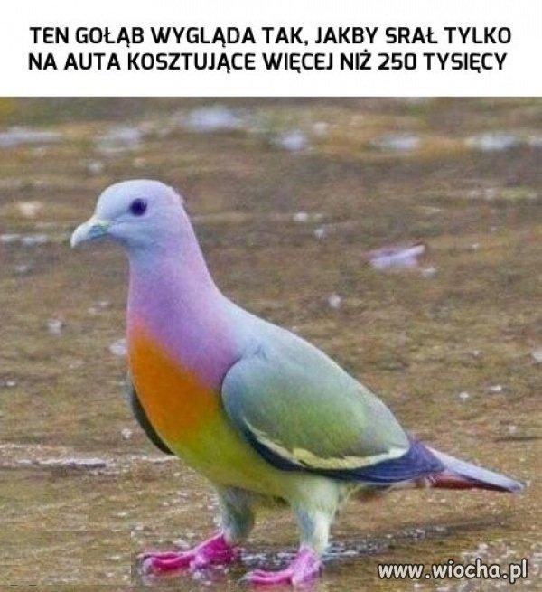 Wyższa klasa gołębia