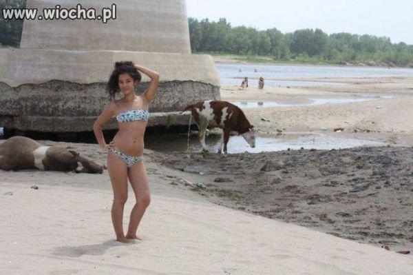 Plaża z krowami