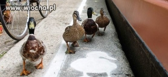 W Angli powstają ścieżki dla kaczek.