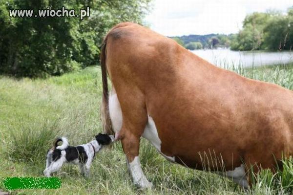 Mleko - najlepsze prosto od krowy!