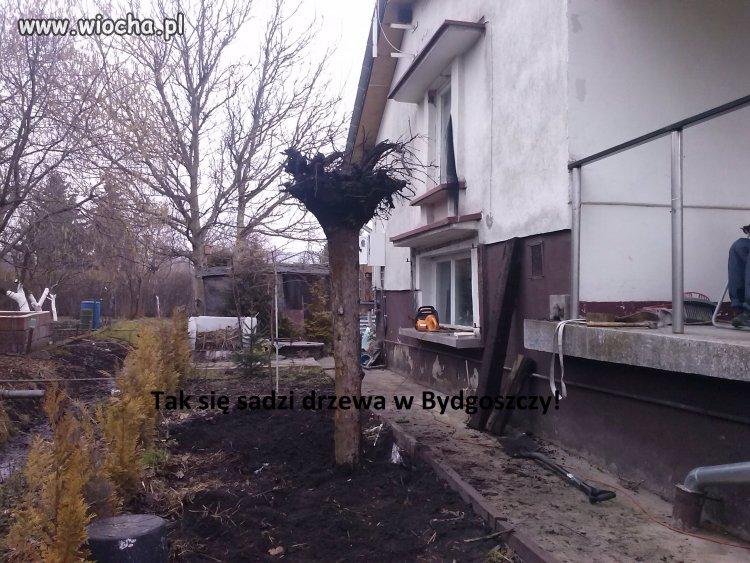 Tak się sadzi drzewa w Bydgoszczy!