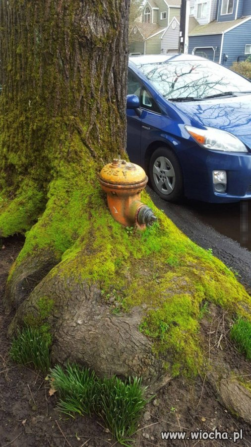 Hydrant pochłonięty przez drzewo.