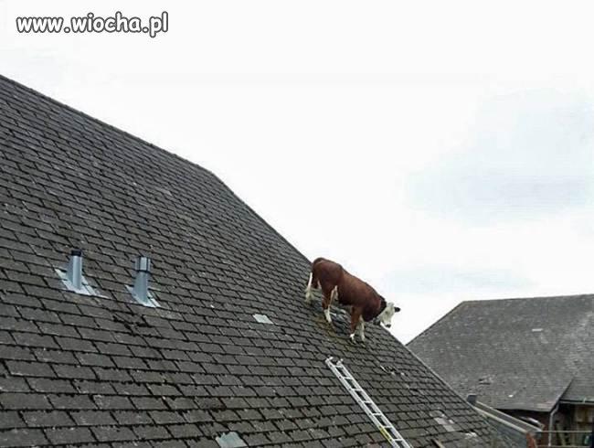 Krowa na dachu w Szwajcarii