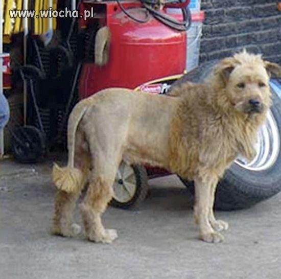 Lwy też już nie te co dawniej.