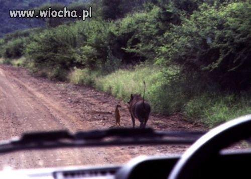 Timon i Pumba żyją!!!