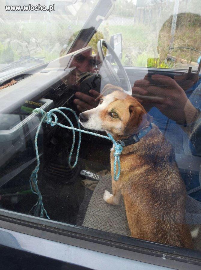 Wiocha to trzymać psa na sznurku w samochodzie