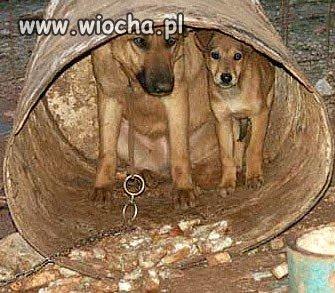 Biedne pozbawione godności psy mają tylko beczkę