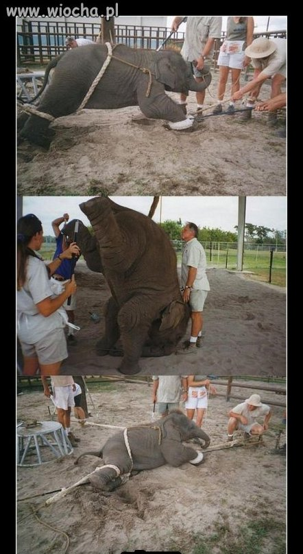 Tresura słonia