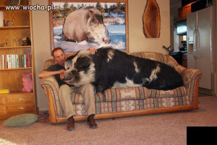 Ktoś mu chyba podłożył świnię