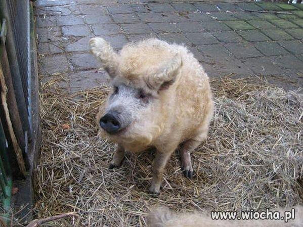 Wieprzowina czy baranina ?
