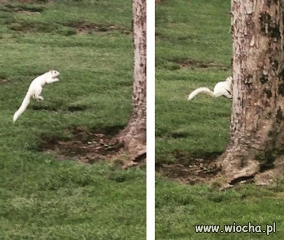 Na zdjęciu rzadka biała wiewiórka