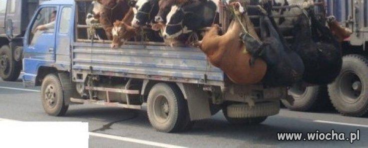*Humanitarny* transport zwierząt