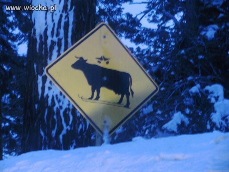 Uwaga na krowy...