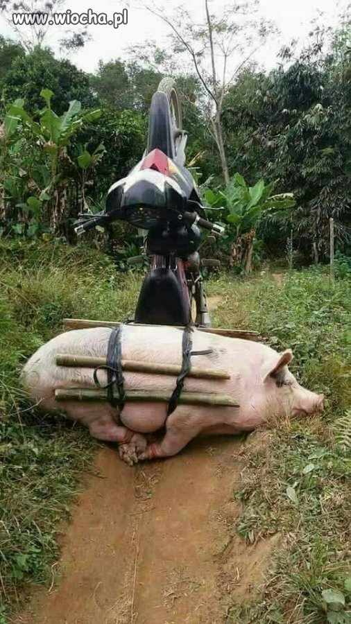 Gdy zabierzesz świnkę na przejażdżkę
