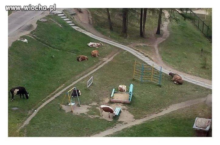 Plac zabaw dla bydła