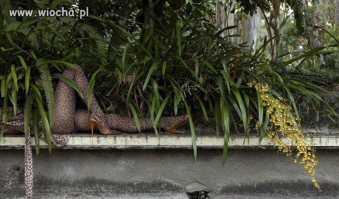 Posród zarośli wyleguje się samotna pantera