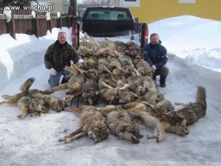 Zabijanie zwierząt to wiocha