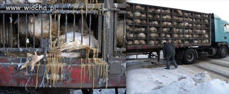 Transport  żywego drobiu w takich warunkach!