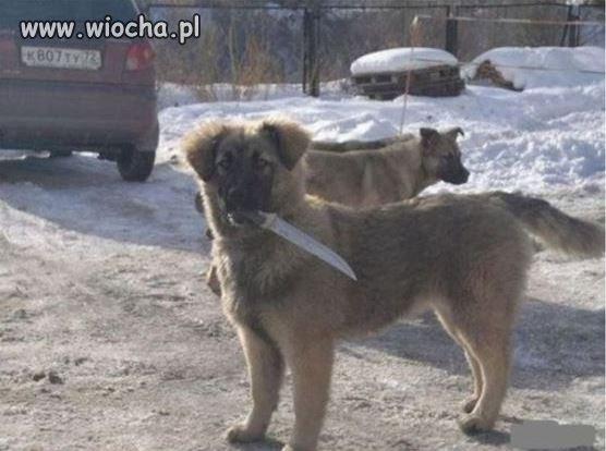 To jest prawdziwy owczarek kaukaski.