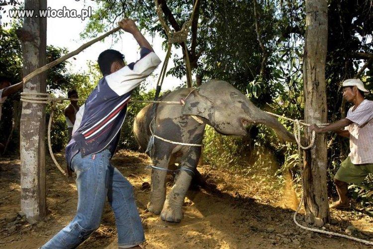 Tajlandia - tresura Słoni...