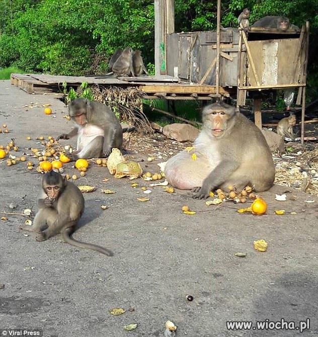 Co zasiłki socjalne robią z małpami?