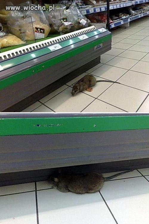 Szczurek na zakupach