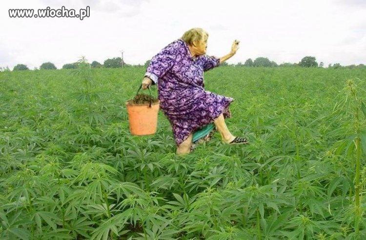 Babcia zbiera ziółka dla wnusia