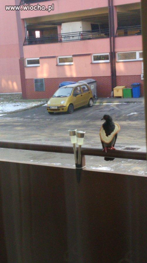 Takie gołębie tylko w Płocku