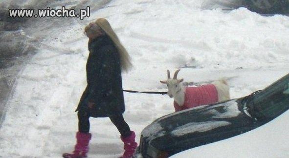 Różowe obuwie, różowa koza