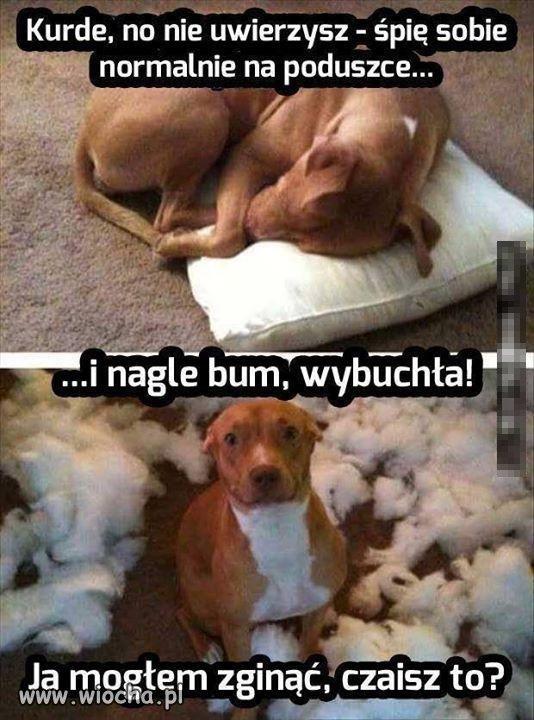 Pies i..
