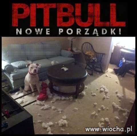 Pittbull nowe porządki