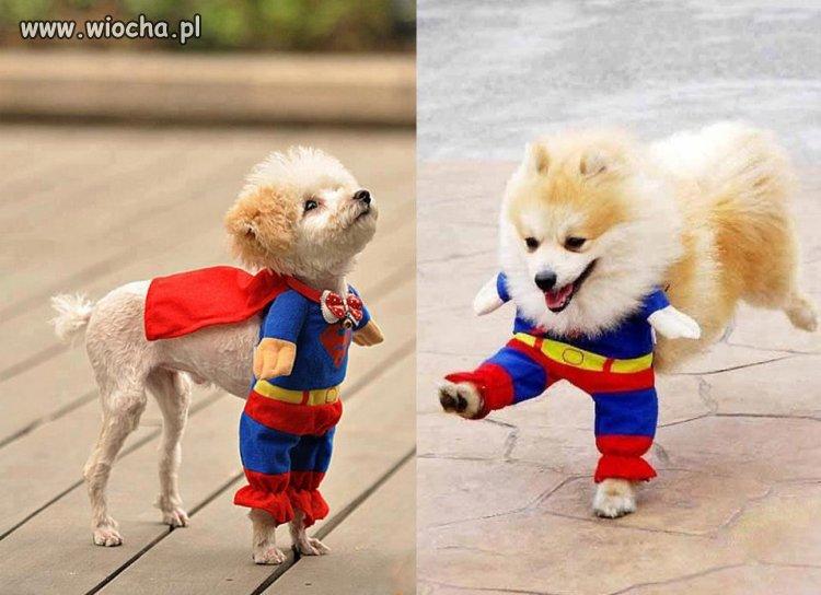 Pies w stroju Supermana