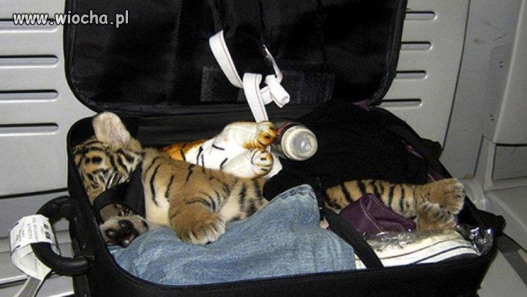 Tak sie przemyca małego tygryska...