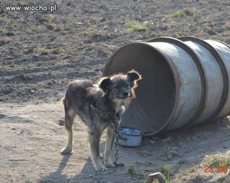 """Psy """"sezonowe"""" - psy pilnujące upraw"""