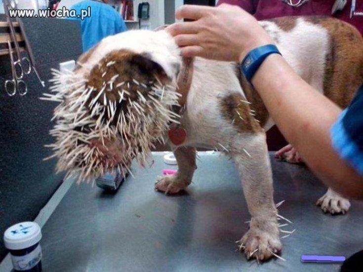 Kretyn poszczuł swoim psem jeżozwierza