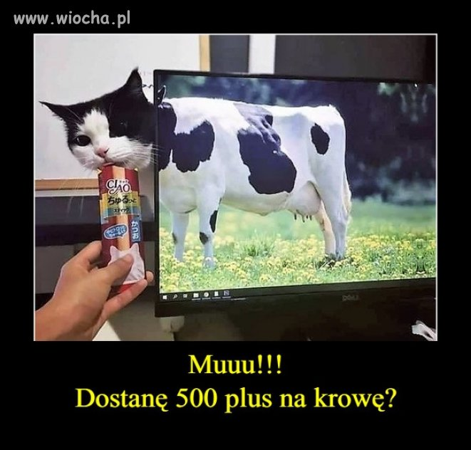 Taka krowa też się liczy?