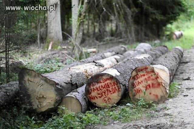 Znów pisowskie odpady tną puszczę białowieską