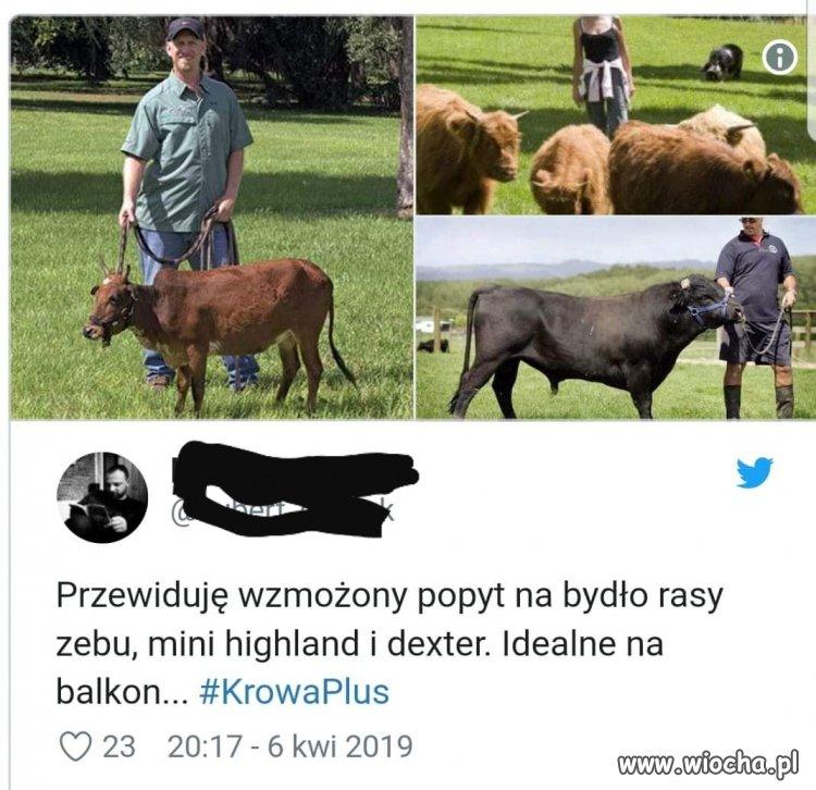 Krowa +