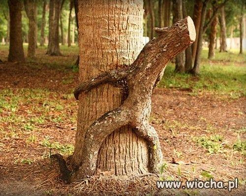 Okres godowy drzew ?
