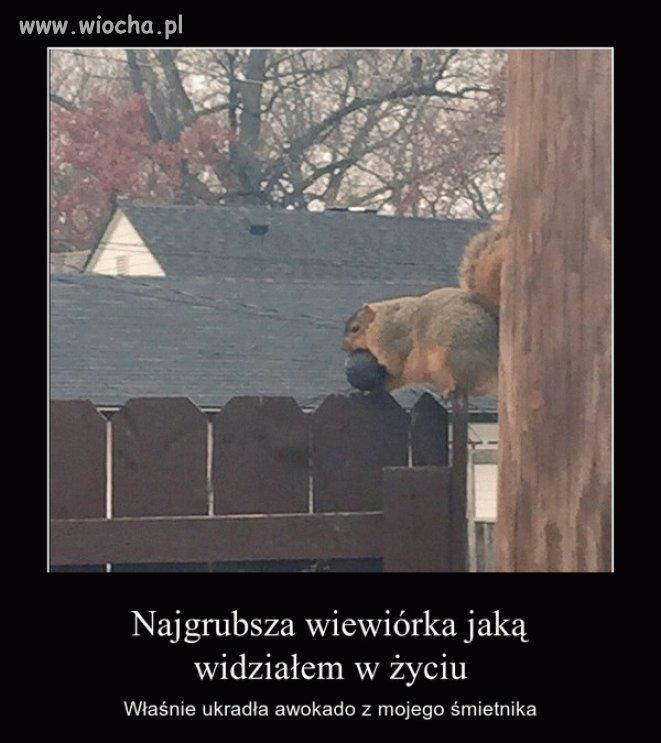 W Ameryce to nawet wiewiórki są otyłe
