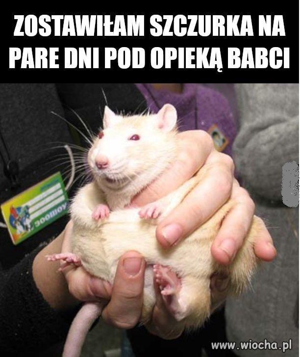 Bo szczurek
