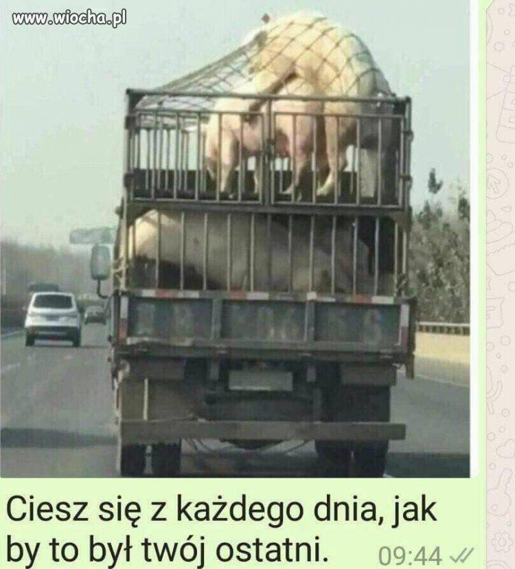 Świnie w miejscu publicznym
