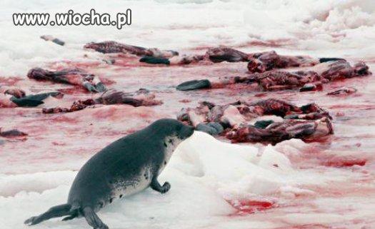 Zabijanie fok.